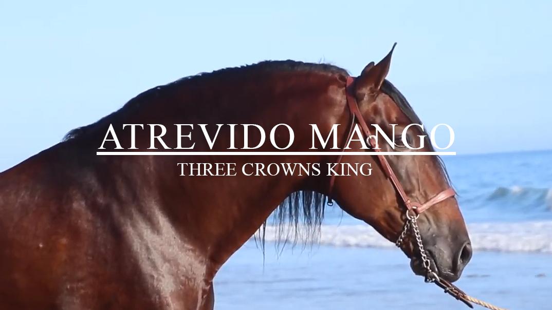 ATREVIDO MANGO, EL REY DE LAS TRES CORONAS, EL MEJOR SEMENTAL PRE EN CALIFORNIA